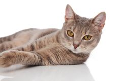 Close up of cute grey cat with yellow eyes lying. On white background stock images