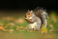 Close up of a cute grey squirrel eating nuts royalty free stock photos