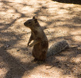 Close-up of a cute groundhog in the desert. An inquisitive prairie dog as seen at a campground in new mexico stock image