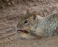 Close-up of a cute groundhog in the desert. A prairie dog eating a cherry at a campground in new mexico stock photo