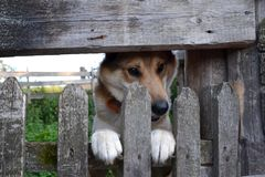 Close-up of a cute guard dog poking his head and paws through a wooden fence and looks away awaiting in a village royalty free stock photography