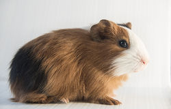 Close up of cute guinea pig Royalty Free Stock Photos
