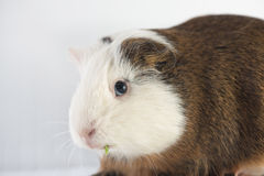 Close up of cute guinea pig Stock Photo