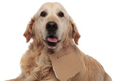 Close up of cute homeless golden retriever panting royalty free stock photography