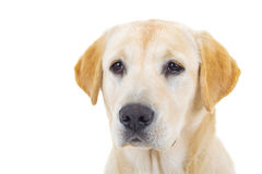 Close up of a cute labrador retriever`s head Royalty Free Stock Photography