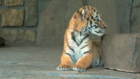 Close-up of cute little blue eyes tiger cub in zoo. 4k stock video footage