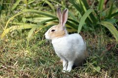 A Close up of cute little bunny/rabbit sitting on green grass Royalty Free Stock Photo