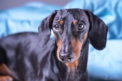 Close up of cute little dachshund dog, black and tan, lying on bed royalty free stock image