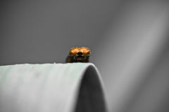 Close up of cute little orange bug climbing leaf on blurred background Royalty Free Stock Photo