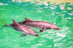 Cute dolphins in pool water in dolphinarium. Close up cute lovely dolphin swimming in pool in dolphinarium stock photography