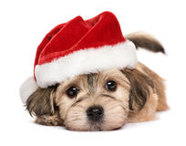 Close up of a cute lying Christmas Havanese puppy dog Stock Image