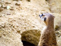Close-up cute meerkat that small animal its standing to alert look in forward on brown sand or soil ground with blur nature.  royalty free stock photography