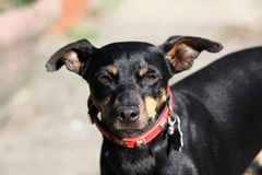 Close up of cute miniature Pinscher, Germany royalty free stock image