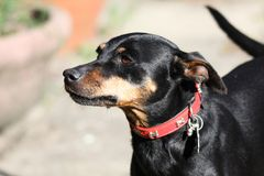 Close up of cute miniature Pinscher, Germany stock photography