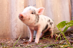 Close-up of a cute muddy piglet. Running around outdoors on the farm. Ideal image for organic farming stock image