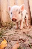 Close-up of a cute muddy piglet running around outdoors on the f Royalty Free Stock Image