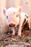 Close-up of a cute muddy piglet running around outdoors on the f Stock Images