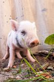 Close-up of a cute muddy piglet running around outdoors on the f Royalty Free Stock Photos