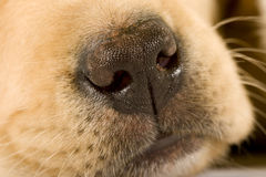 Close up on cute nose of a Labrador Stock Images