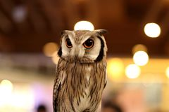Close up of cute owl on beautiful bokeh background.  royalty free stock image