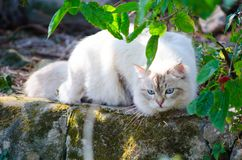 Close-up Cute Persian cat in grey color Curious blue eyes looking for something. A Close-up Cute Persian cat in grey color Curious blue eyes looking for royalty free stock photos
