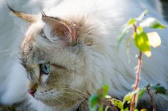 Close-up cute persian cat in grey color curious blue eyes looking for something. A close-up cute persian cat in grey color curious blue eyes looking for royalty free stock images