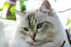 Close-up Cute Persian cat in grey color Curious blue eyes looking for something. A Close-up Cute Persian cat in grey color Curious blue eyes looking for stock photos