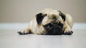 Close-up cute pug dog lies on the floor, falls asleep and looking at camera