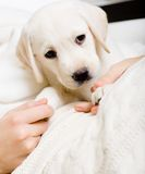 Close up of cute puppy on the hands of woman Stock Photo
