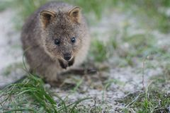 Cute quokka at Rottnest Island Royalty Free Stock Photo