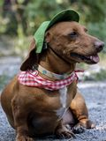 DAchshund in green cap and red and white checkered bandana. Close up of cute short-haired dachshund in green cap and red and white checkered bandana Stock Photo