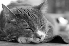 Close up of a cute sleeping cat Stock Photography