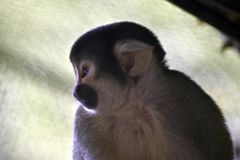 A cute spider monkey. This is a close up of a cute spider monkey stock photography