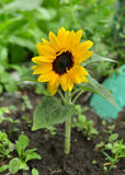 Close up of cute sunflower on flowerbed Royalty Free Stock Image