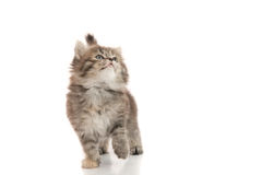 Close up of cute tabby kitten looking up on white background Stock Image
