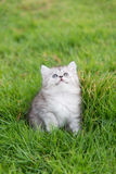 Close up cute tabby kitten sitting and looking up Royalty Free Stock Photography