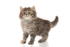 Close up of cute tabby kitten standing on white background Royalty Free Stock Photography