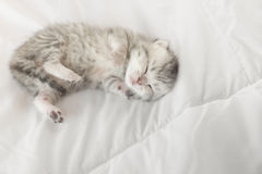 Close up Cute tabby kittens lying. Cute tabby kitten sleeping on bed Royalty Free Stock Photos