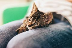 Cute Tabby Pussycat Lying Down on Lap. Close up Cute Tabby Pussycat with Gray Stripe Color, Lying Down on Lap While Looking Into Distance Stock Photography