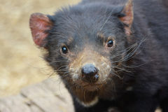 Close up of a cute Tasmanian Devil looking at camera. Tasmanian devils are marsupial carnivores (Sarcophilus harrisii) They are found in the wild on the island royalty free stock photos