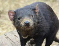 Close up of a cute Tasmanian Devil looking at camera. Tasmanian devils are marsupial carnivores (Sarcophilus harrisii) They are found in the wild on the island stock photos