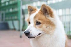 Close up cute Thai Bang Kaew dog face Royalty Free Stock Photo