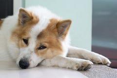 Close up cute Thai Bang Kaew dog face Royalty Free Stock Images