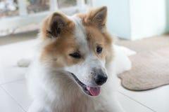 Close up cute Thai Bang Kaew dog face Royalty Free Stock Photography