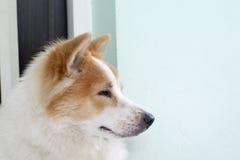 Close up cute Thai Bang Kaew dog face Royalty Free Stock Image