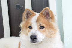 Close up cute Thai Bang Kaew dog face Stock Photo