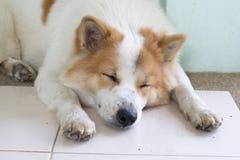 Close up cute Thai Bang Kaew dog face Stock Photos