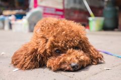 Close up of a cute toy poodle lying in street stock images