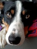 Close up of a cute tricolor border collie with vitiligo skin condition royalty free stock photography