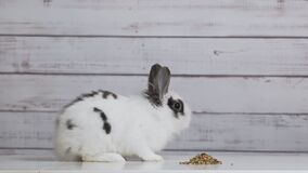 Close-up of cute white bunny is eating dry rodent food mix on wooden background. Balanced feed with cereals, seeds, peas, dried. Vegetables. Concept of balanced stock footage